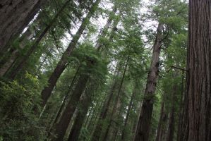 Cloudy Over The Redwoods by Kage-Kaldaka