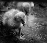Sad Little Duckling by KatiBear