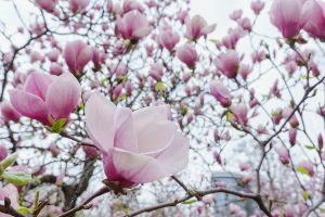 Magnolia by Lonely-black-cat