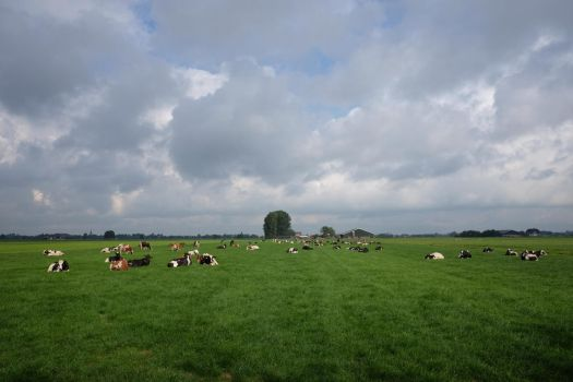 cows by Makinit