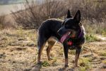 Pearl- Australian Cattle Dog by amdumbaugh
