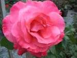 another rose... by bluedragon03