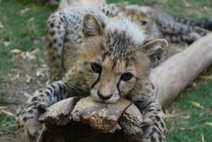 Cheetah Cub by Jamie38
