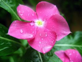 Pink Flower by Ihtaver