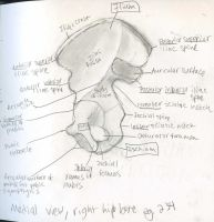 Axial Skeleton- medial view right pelvic bone by Mismatching-Socks