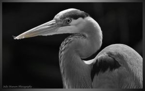 Great Blue Heron - BW by I-Heart-Photos