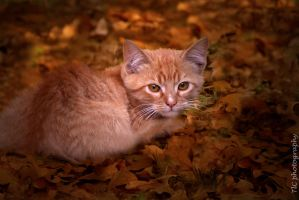 Fall kitten 2 by TlCphotography730