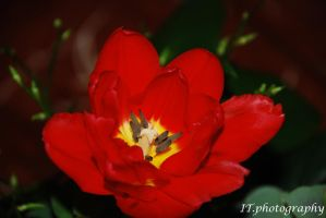 a tulip by ITphotography
