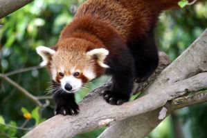 Red Panda by Windowtothesoul
