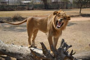 Lion roar Check out those teeth! by RecreateStock