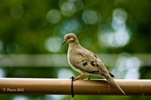 Mourning Dove by thriftyredhead
