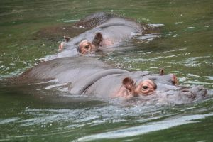 Hippos cologne 27 by ingeline-art