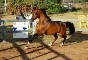 JA Arab Bay Canter 3.4 front by Chunga-Stock