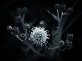 Thistle family by MatsHolmberg