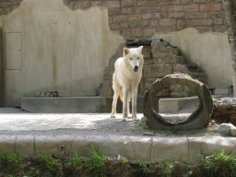 Arctic Wolf by plutoplus1