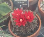 Vivid Red Chin Cactus 3 by Kihaku-Gato