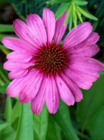 Cone Flower by iwolf121