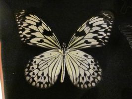 Paper Kite Pinned Spread Dorsal View by death-pengwin