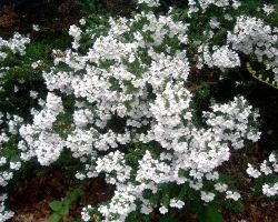White blossoms by tia-stock