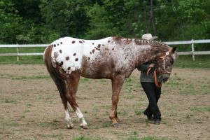 Appaloosa 83 by FantasyDesignStock
