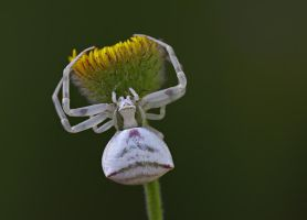 spider by lisans