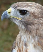 Red Tailed Hawk close up by asaph70
