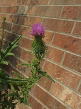 Thistle 001 by Night-Forager