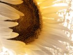 Sunflower Aglow With Light by Pennes-from-Heaven