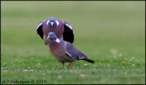 Pigeon Leap Frog by andy-j-s