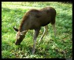 Elk_03 by Silliness