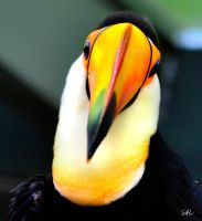 Head On - Toco Toucan by AzureWindProductions