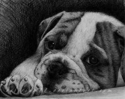 bulldog by vasodelirium