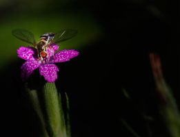 Another Hoverfly on a Deptford pink by boron