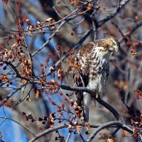 Rough Legged Hawk by clippercarrillo