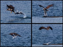 Eagle Vs Gull by swashbuckler