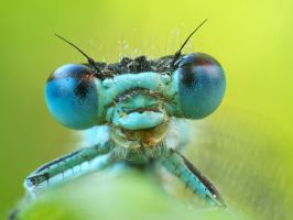 Damselfly 3 by Pete1987