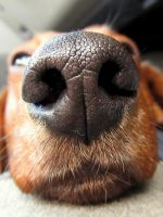 Ziggy's Nose by JMcCarty09