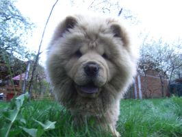 Chow Chow by rimz1dnk