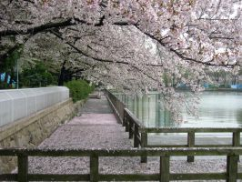 Sakura Trees in a Garden by dlzagnar