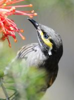 Yellow-Faced Honeyeater.7350 by DPasschier