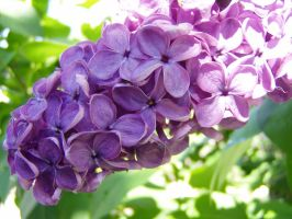 .:stock - lilac1:. by guavon-stock