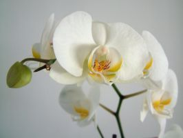 Orchid 1 by chameleonkid