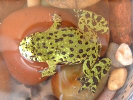 Fire Belly toad by Giligadi