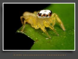 jumping spider 15 by dhead