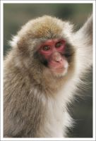 Macaque Portraits - X by eight-eight