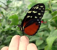heliconius hecale by Hedwigs-art