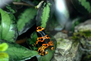 Orange frog by whynotastock