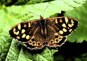 Speckled Wood by hchic4life
