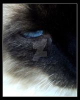Siamese cat by devilily84