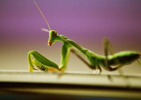 Cyprus Praying Mantis by Colourful-cloudS